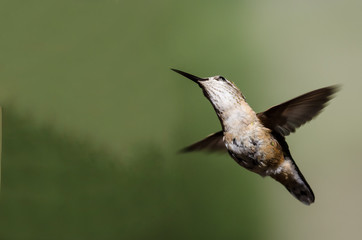 Wall Mural - Broad-Tailed Hummingbird Hovering in Flight Deep in the Forest