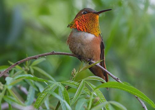 Allen's hummingbird perched.