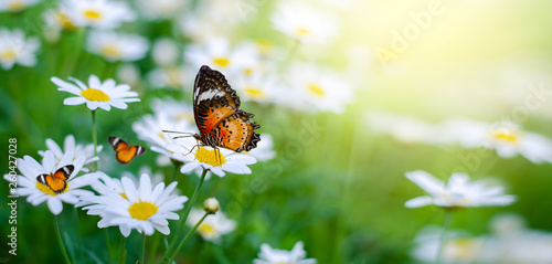 Wall mural The yellow orange butterfly is on the white pink flowers in the green grass fields