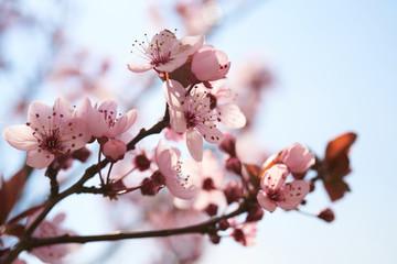 Fototapeta Kwitnące drzewa obraz