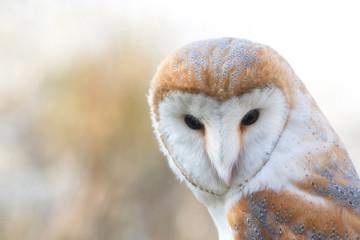 The Barn owl, Tyto alba, Close-up portrait. Fototapete