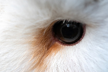 Owl eye close-up, macro photo, eye of the female Barn owl, Tyto alba Fototapete