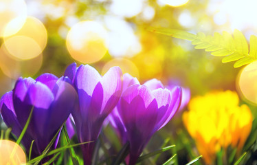 Wall Mural - Springtime  background. Spring Flowers in Sunlight. Outdoor Nature