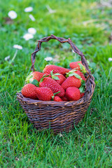 Basket of freshly picked strawberries in a field