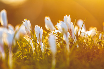 Crocus growing outside on soil bed, lit with sunlight from behind