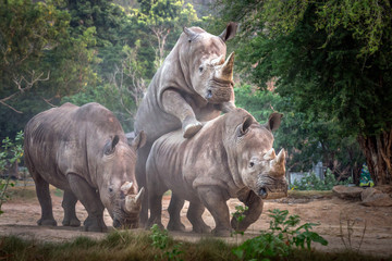 Printed roller blinds Natuur White rhinoceros family in the wild nature.