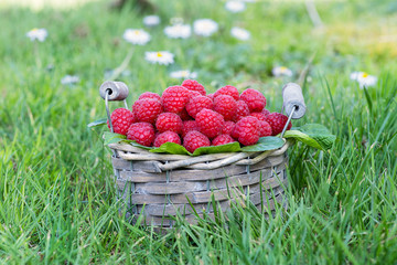 Basket of freshly picked raspberries in the garden.
