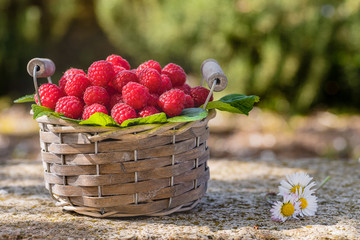 Basket of freshly picked raspberries in the garden