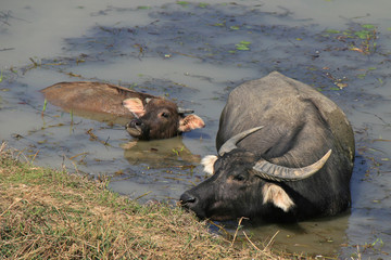 Water buffalo (Vietnam)