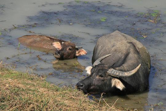 Water buffalo (Vietnam)