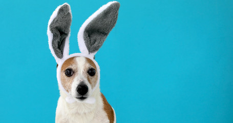 Frightened dog with rabbit ears hat licks on isolated on a blue background