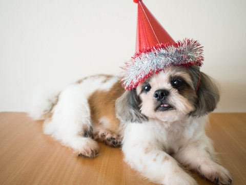 Cute Shih tzu dog wearing red party hat for celebrate his birthday or new year party at home. Pet lifestyle and happiness dog concept.