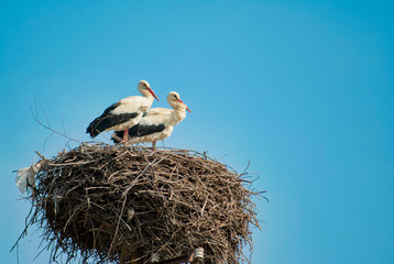 two white storks (ciconia ciconia) are standing in the nest