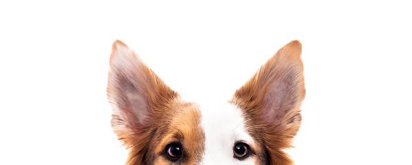Fotobehang Hond Panorama, Hund versteckt sich, Hintergrund Weiß, Augen und Ohren