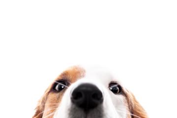 Süßer Hund versteckt sich und guckt hervor, freigestellt vor Weiß, Augen und Nase Fototapete
