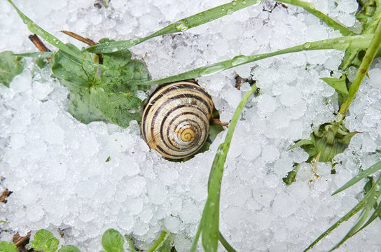 .Snail on hail in a winter scene. Green plants next to the snail