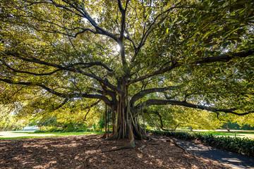 Fig tree in Sydney Botanical Gardens