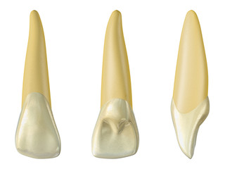 maxillary lateral incisor tooth in the buccal, palatal and lateral views. Realistic 3d illustration of maxillary lateral incisor tooth.