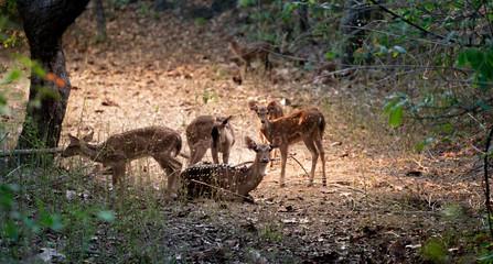 group of axis deer