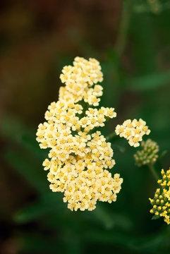 Pale Yellow Yarrow
