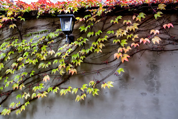 Concrete wall with grape vine in autumn. Selective focus