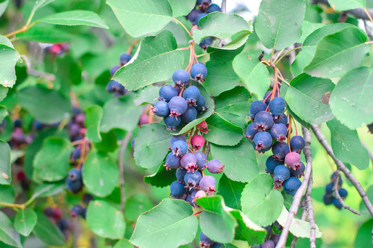Tasty fresh blue shadberry on branch with green leaves