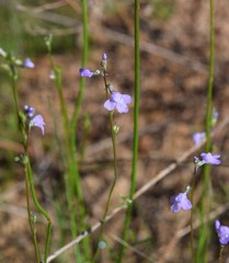 Blue toadflax flowers, Nuttallanthus canadensis, in Mississippi