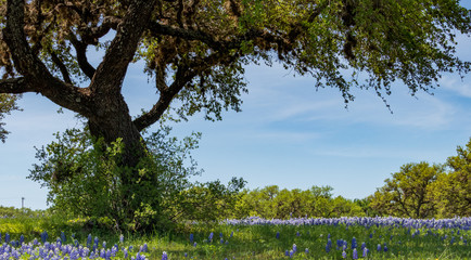 Bluebonnets in a field under a tree with blue sky background