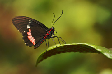 Beautiful butterfly sitting on flower against green background in a summer garden,beautiful insect in the nature habitat, wildlife from Amazon in Brazil, South America