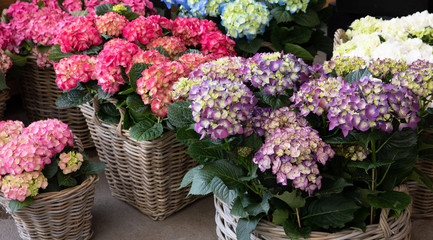 Spoed Fotobehang Hydrangea Variety of hydrangea macrophylla flowers in violet, pink, white colors in the garden shop.