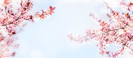 Spring flower blossom closeup with bokeh background. Springtime nature scene with cherry blossom...
