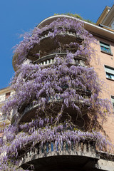 Wisteria purple climbing plant on house wall, Milan - Italy