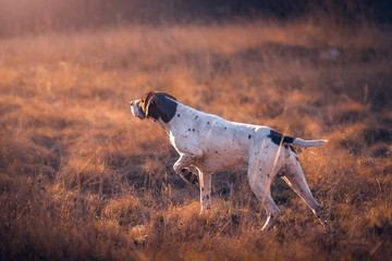 Poster de jardin Chasse german shorthaired pointer hunting