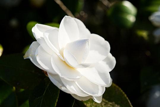 A white camellia in full bloom.