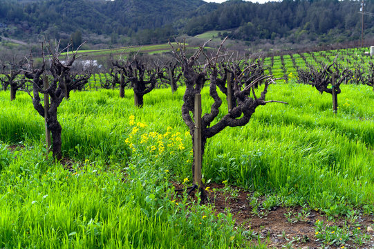 rows of zinfandel in vineyard in winter in California