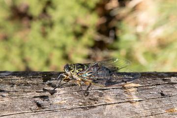 Chorus cicada on dry log with blurry background