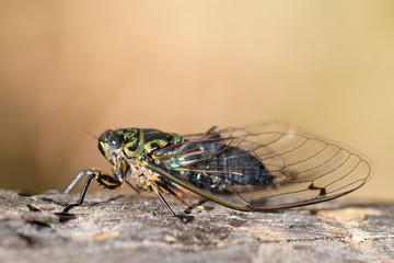 Adult Chorus cicada, New Zealand