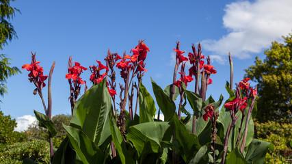 Canna x generalis flowering in New Zealand