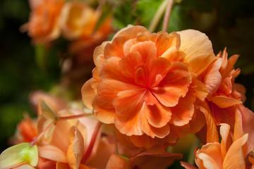 Orange trailing Begonia flowers in bloom in New Zealand