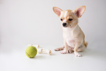 chihuahua is a white sugar, six month old, on a white background.