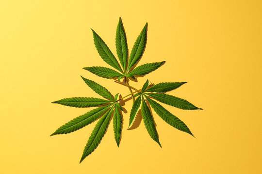Group of 3 Cannabis Leaves from Marijuana Plant on Yellow Color Background Shot Overhead Top Down
