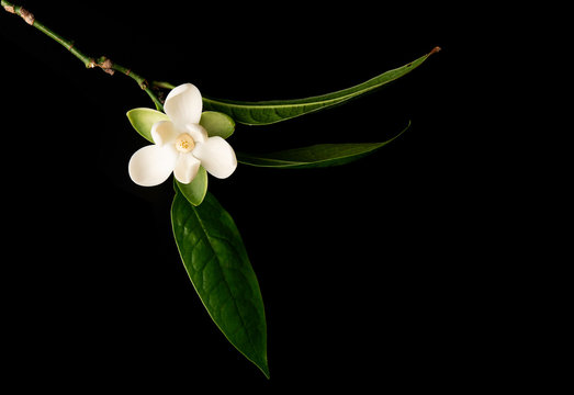 White magnolia flower and green leaf on isolated black background.