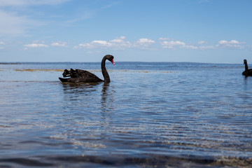 Black Swans is sitting at the beach