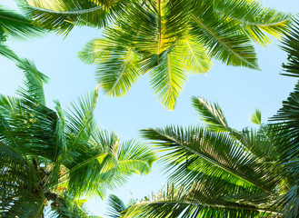 Wall Mural - Coconut palm trees on sky background.   Low Angle View.