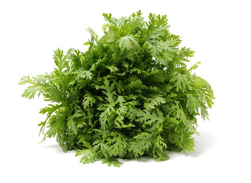 Shungiku, also known as tong hao, or edible chrysanthemum, Isolated on white. A leaf herb commonly used in asian food