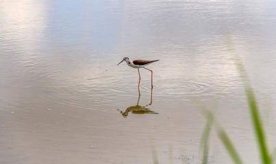 water bird in the Camargue