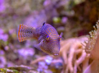 colorful pufferfish