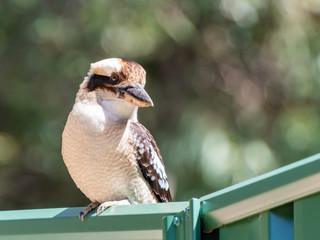 Kookaburra on Fence