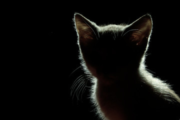 Animals, Pets Concept. Silhouette of a Cat Over Black Background. Cute Stray Kitten.