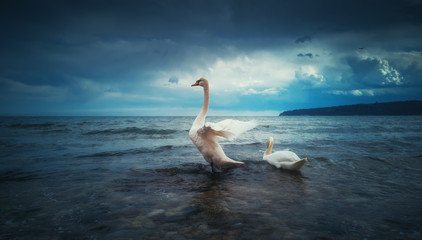 Swan floating on the sea water and dramatic clouds